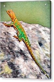 Oklahoma Collared Lizard Acrylic Print by Jeff Kolker