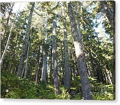 Old Growth Forest Acrylic Print by Shannon Ireland