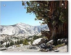 Old Tree At Yosemite National Park Acrylic Print by Mmm