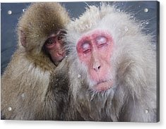 Older Snow Monkey Being Groomed By A Acrylic Print by Natural Selection Anita Weiner