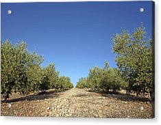 Olive Grove Acrylic Print by Carlos Dominguez