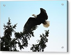 Olympic Bald Eagle Acrylic Print by David Yunker
