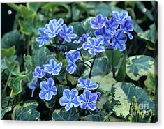 Omphalodes 'starry Eyes' Flowers Acrylic Print by Archie Young