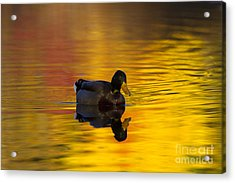 On Golden Waters Acrylic Print by Mike  Dawson
