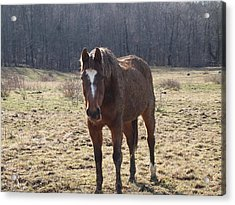 One Funny Horse Acrylic Print by Robert Margetts