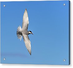 One Good Tern Deserves Another Acrylic Print by Tony Beck