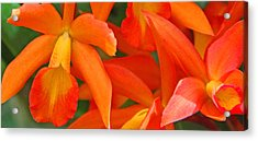 Orange Cattleya Orchid Acrylic Print by Becky Lodes