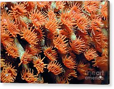 Orange Coral Polyps Acrylic Print by Sami Sarkis