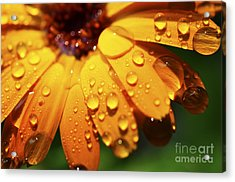 Orange Daisy And Raindrops Acrylic Print by Thomas R Fletcher