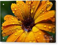 Orange Daisy In The Rain Acrylic Print by Thomas R Fletcher