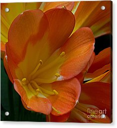 Orange Delight Acrylic Print by Robert Pilkington