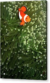 Orange Fish With Yellow Stripe Acrylic Print by Perry L Aragon