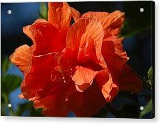 Orange Hibiscus Acrylic Print by Aimee L Maher Photography and Art Visit ALMGallerydotcom