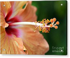 Orange Hibiscus Acrylic Print by Sabrina L Ryan
