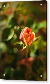 Orange Rosebud Acrylic Print by Rebecca Sherman