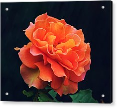 Orange Sherbert Rose Acrylic Print by Ken Wolter