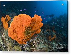 Orange Sponge With Crinoid Attached Acrylic Print by Steve Jones