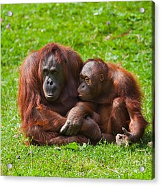 Orangutan Mother And Child Acrylic Print by Gabriela Insuratelu