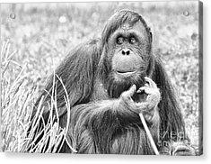 Orangutan Acrylic Print by Scott Hansen