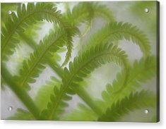 Ostrich Fern Frond Pattern Of Curves Acrylic Print by Kathleen Clemons