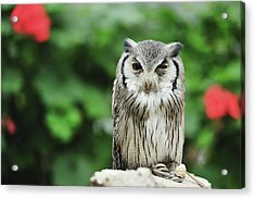 Owl With Blurred Background Acrylic Print by Copyrights(c) All rights reserved by Haruhisa Yamaguchi