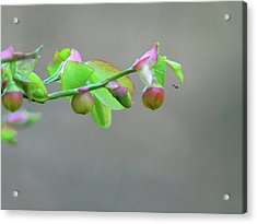 Pacific Huckleberry Acrylic Print by Pamela Patch