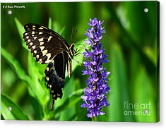 Palamedes Swallowtail Butterfly Acrylic Print by Barbara Bowen