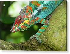Panther Chameleon Acrylic Print by Dave Stamboulis Travel Photography