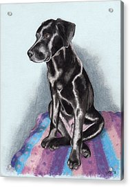 Papi The Labby Acrylic Print by Sherri Strikwerda