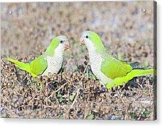 Parakeet Acrylic Print by Alex Bramwell