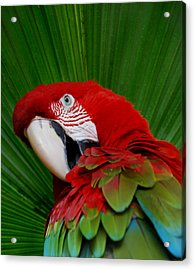 Parrot Head Acrylic Print by Skip Willits
