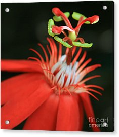 Passiflora Vitifolia - Scarlet Red Passion Flower Acrylic Print by Sharon Mau