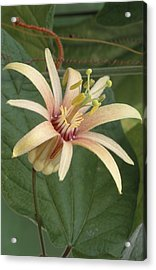 Passion Flower Acrylic Print by Archie Young