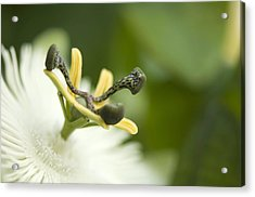Passion Flower (passiflora Sp.) Acrylic Print by Maria Mosolova