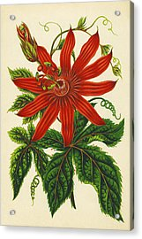 Passion Flower Acrylic Print by Sheila Terry