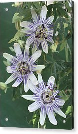 Passion Flowers Acrylic Print by Archie Young
