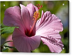 Passionate Pink Acrylic Print by Chris Ann Wiggins