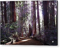 Path By An Ancient Redwood Acrylic Print by Laura Iverson