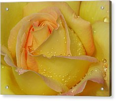 Peace Rose Acrylic Print by Nicola Butt