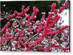 Peach Blossom Acrylic Print by Kaye Menner