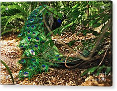 Peacock Hiding Acrylic Print by Kaye Menner