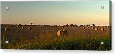 Peanut Field Bales At Dawn 1 Acrylic Print by Douglas Barnett