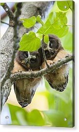 Peek-a-boo Fledglings Acrylic Print by Tim Grams