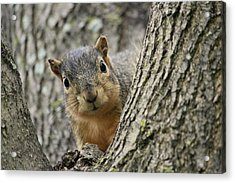Peek A Boo Squirrel Acrylic Print by Rosanne Jordan