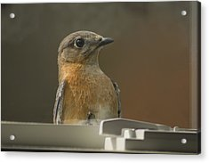 Peeping Bluebird Acrylic Print by Kathy Clark