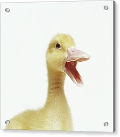 Pekin Duck Chick, Head-shot Acrylic Print by GK Hart/Vikki Hart