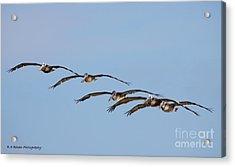 Pelican Crew In Flight Acrylic Print by Barbara Bowen