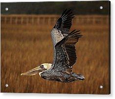 Pelican Flying Through The Marsh Acrylic Print by Paulette Thomas