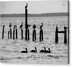 Pelicans On Posts Acrylic Print by Judy Wanamaker