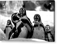 Penguins Acrylic Print by Pravine Chester